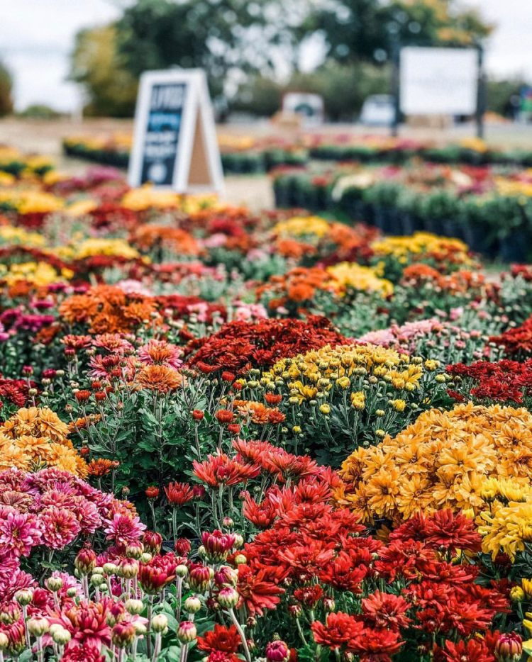 rows of potted mums on green bluff flower farm